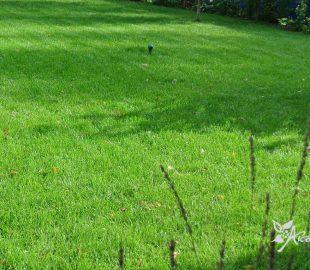 Когда сажают газонная трава лилипут 501